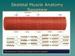 skeletal muscle anatomy sarcomere
