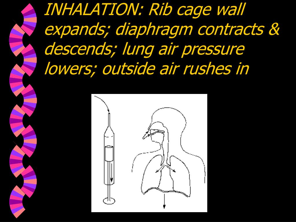 INHALATION: Rib cage wall expands; diaphragm contracts & descends; lung air pressure lowers; outside air rushes in