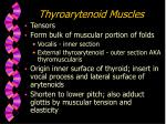 thyroarytenoid muscles