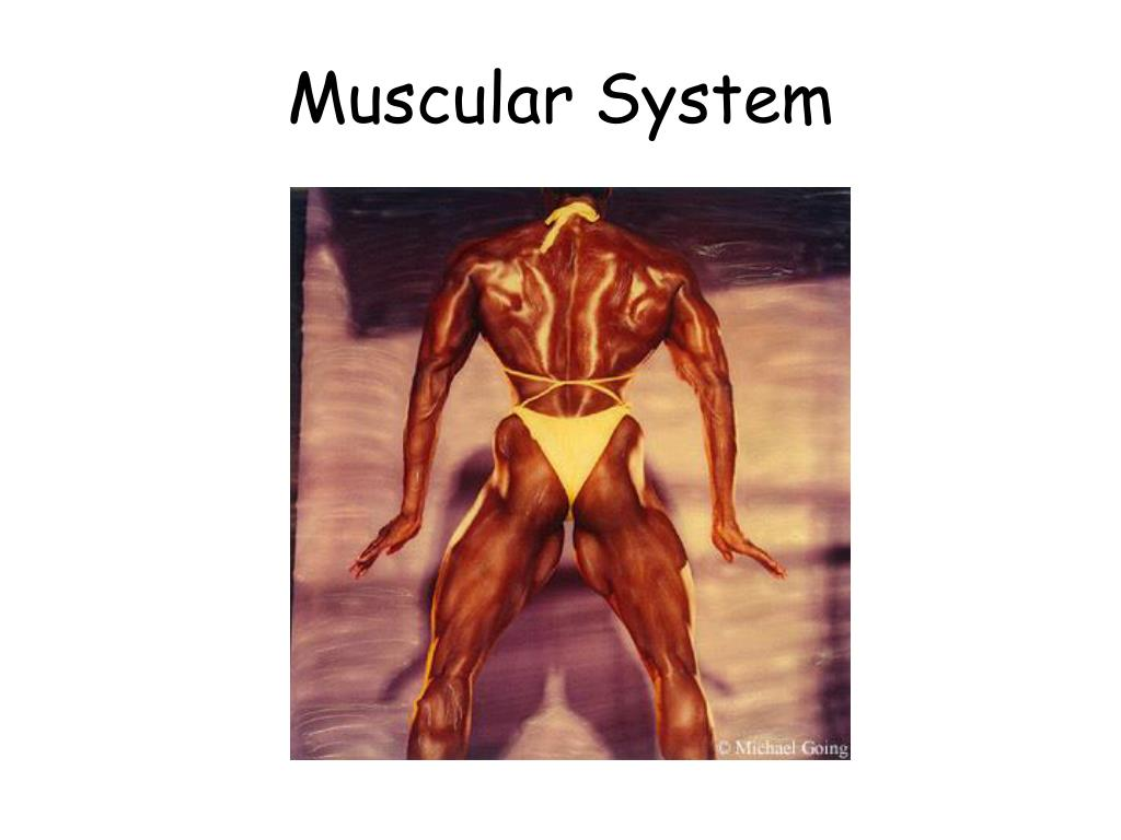muscular system l.