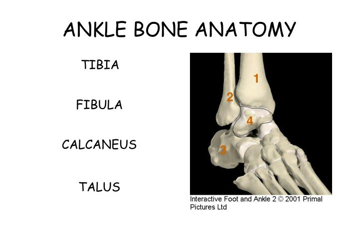 Ppt Ankle Anatomy Powerpoint Presentation Id30309