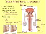 male reproductive structures penis