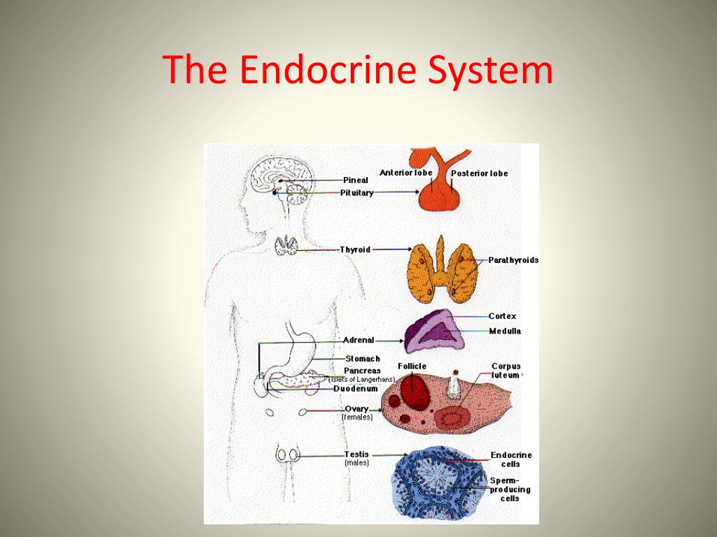 Ppt The Endocrine System Powerpoint Presentation Id303775