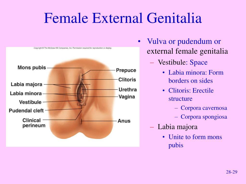 Female External Genitalia