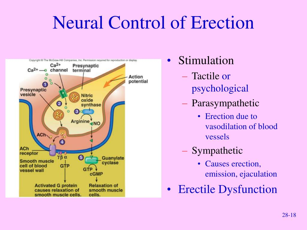 Neural Control of Erection