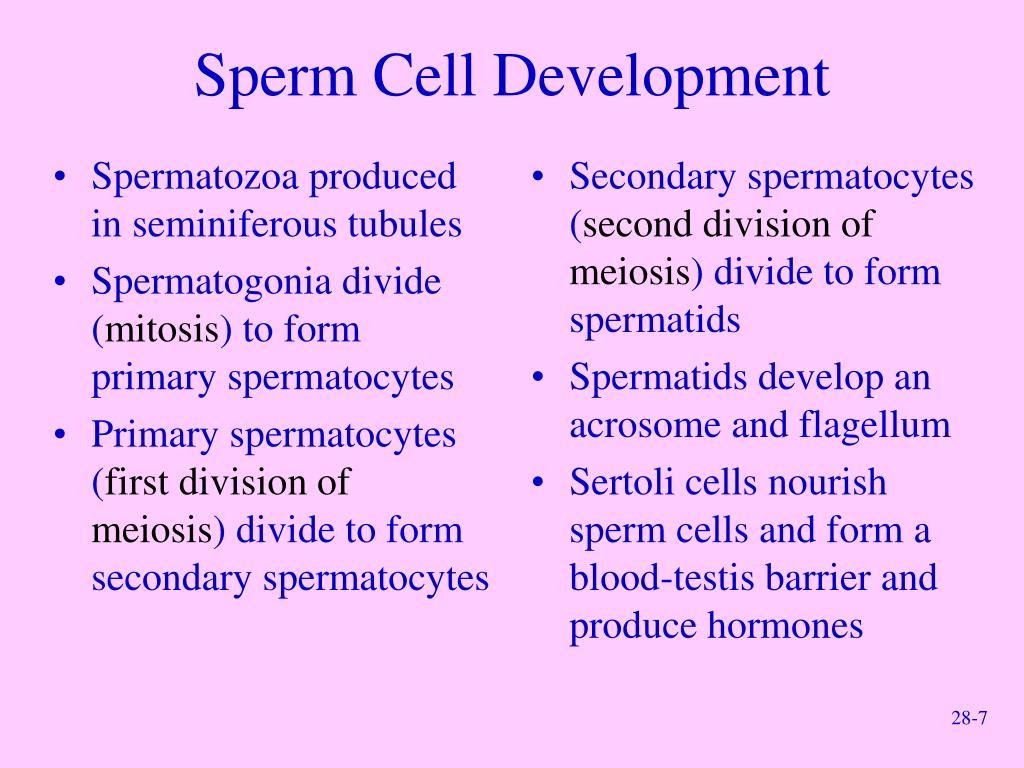 Spermatozoa produced in seminiferous tubules