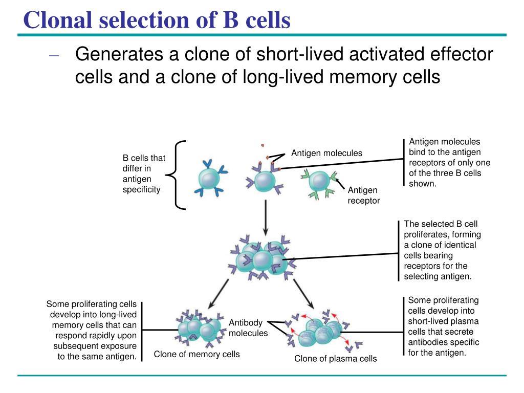 Antigen molecules