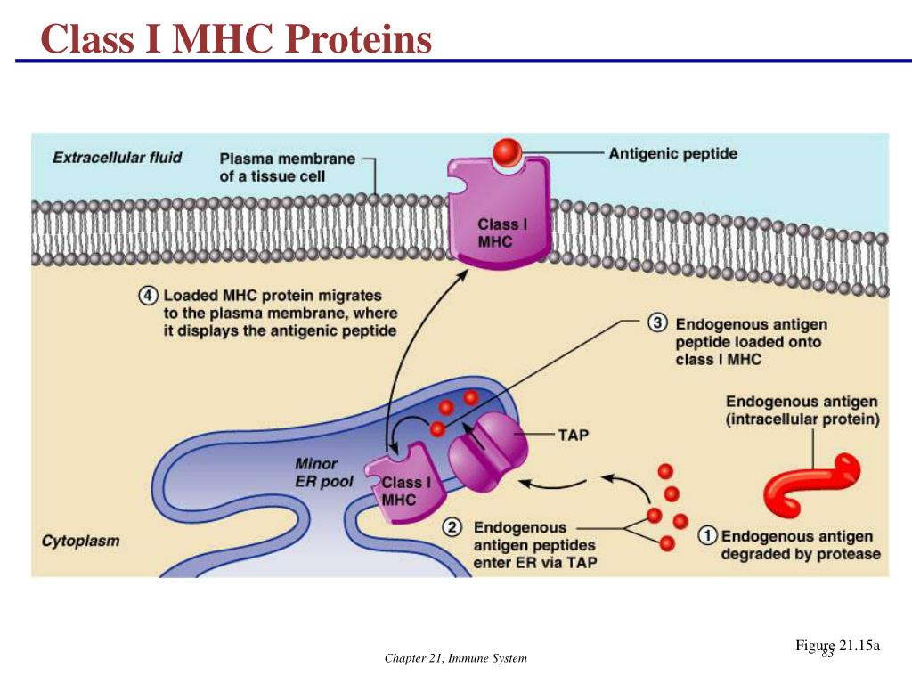 Class I MHC Proteins