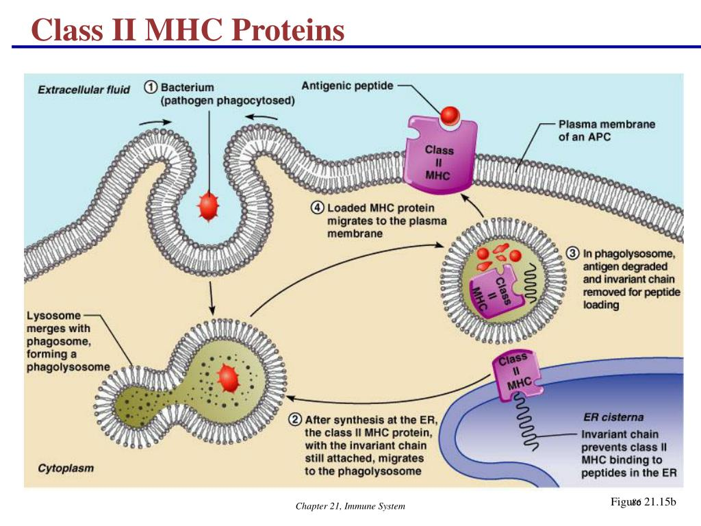 Class II MHC Proteins