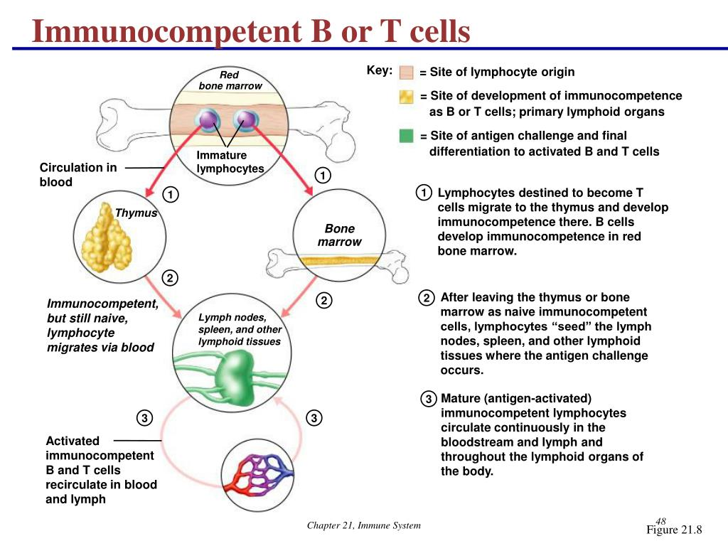 Immunocompetent B or T cells