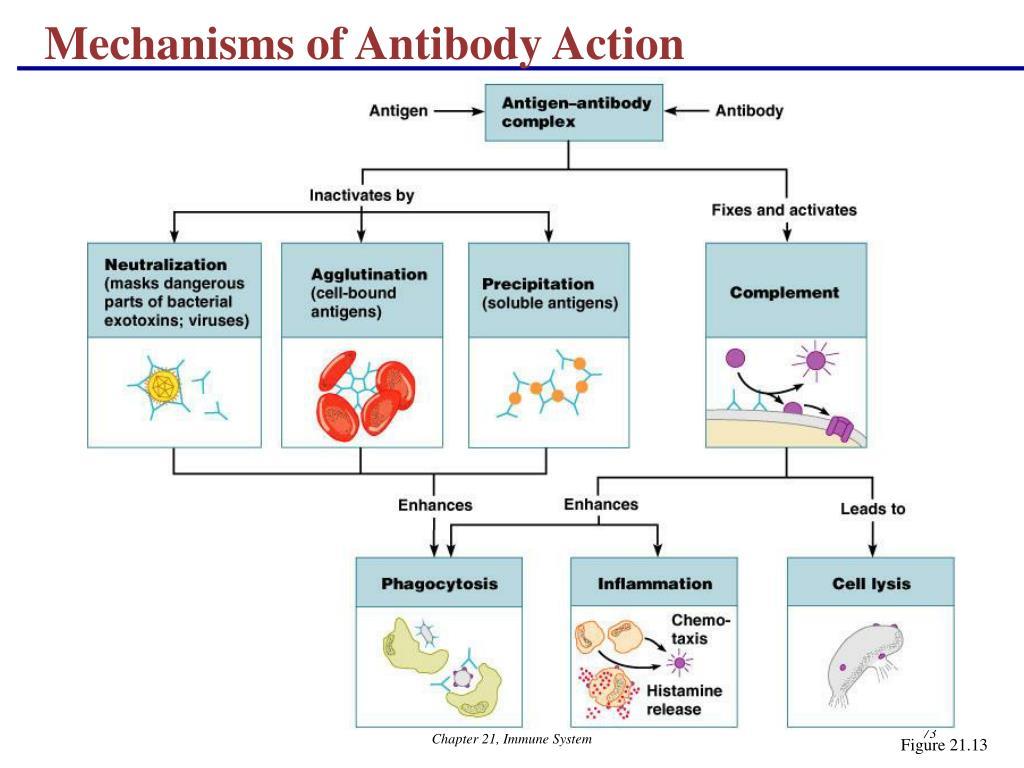Mechanisms of Antibody Action