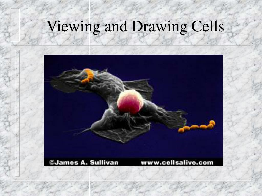 viewing and drawing cells l.