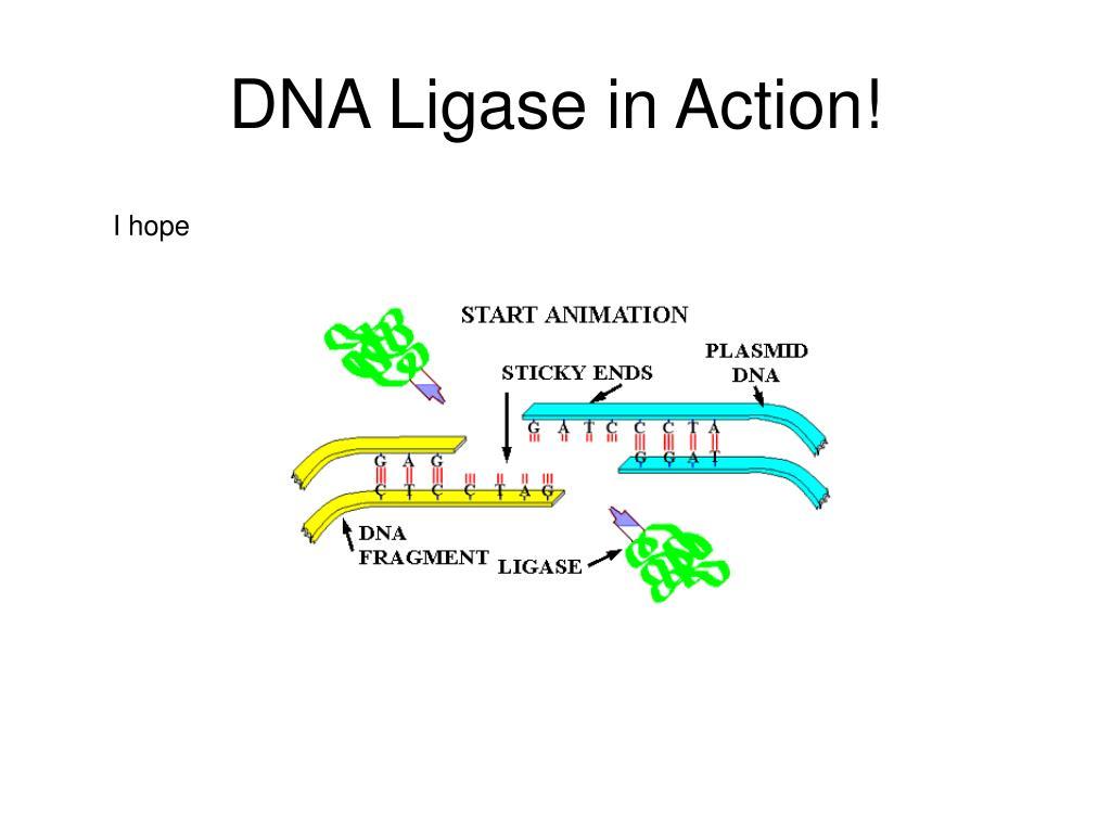 DNA Ligase in Action!