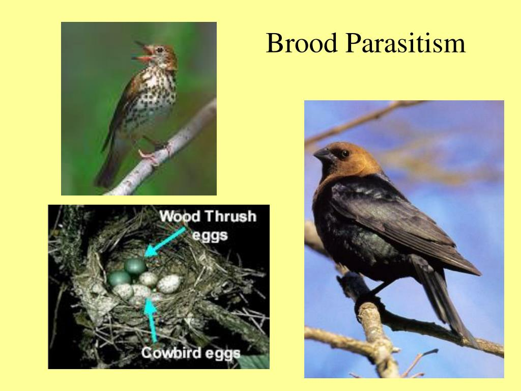 research papers on brood parasitism