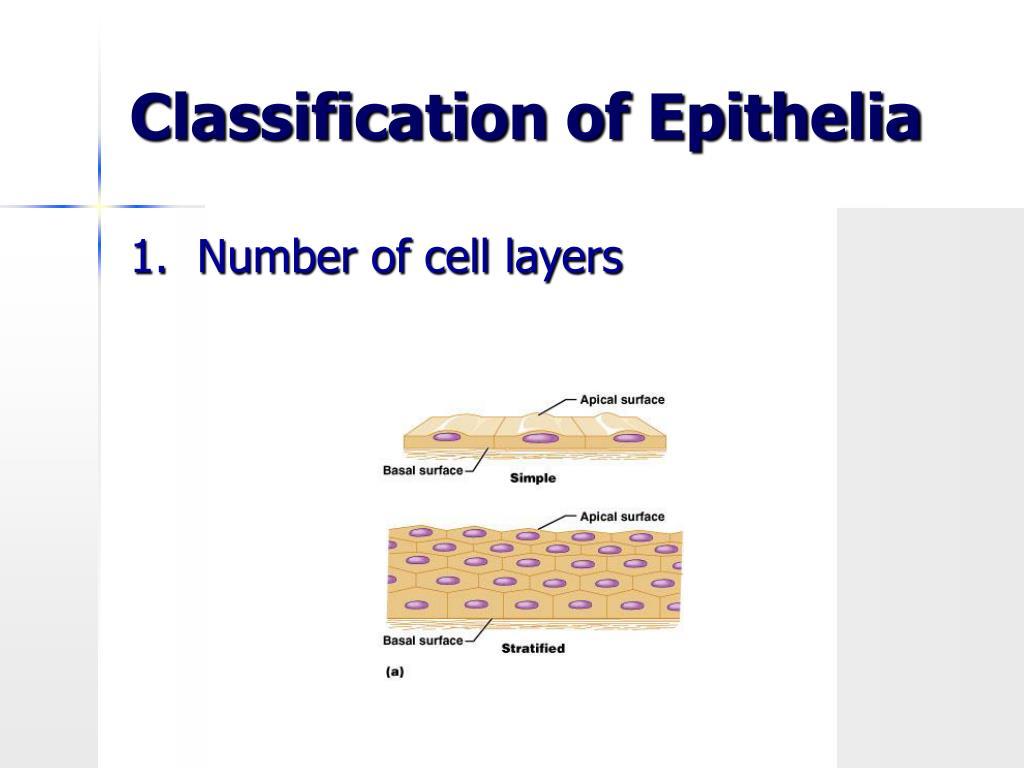 Classification of Epithelia