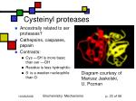 cysteinyl proteases
