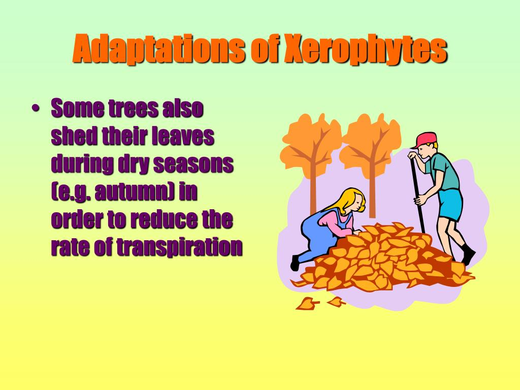 Some trees also shed their leaves during dry seasons (e.g. autumn) in order to reduce the rate of transpiration