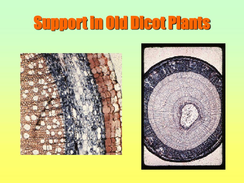 Support in Old Dicot Plants