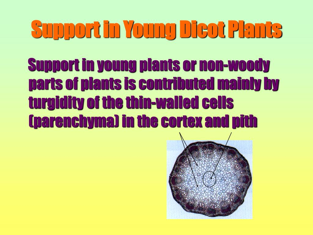 Support in young plants or non-woody parts of plants is contributed mainly by turgidity of the thin-walled cells (parenchyma) in the cortex and pith