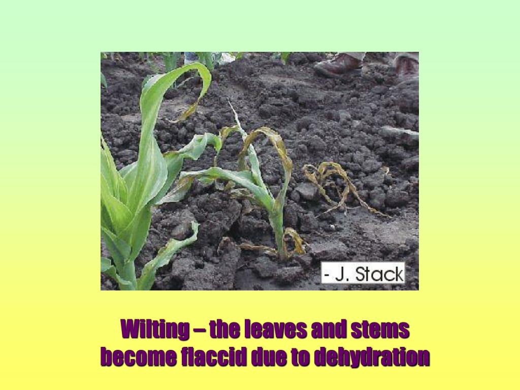 Wilting – the leaves and stems                                 become flaccid due to dehydration