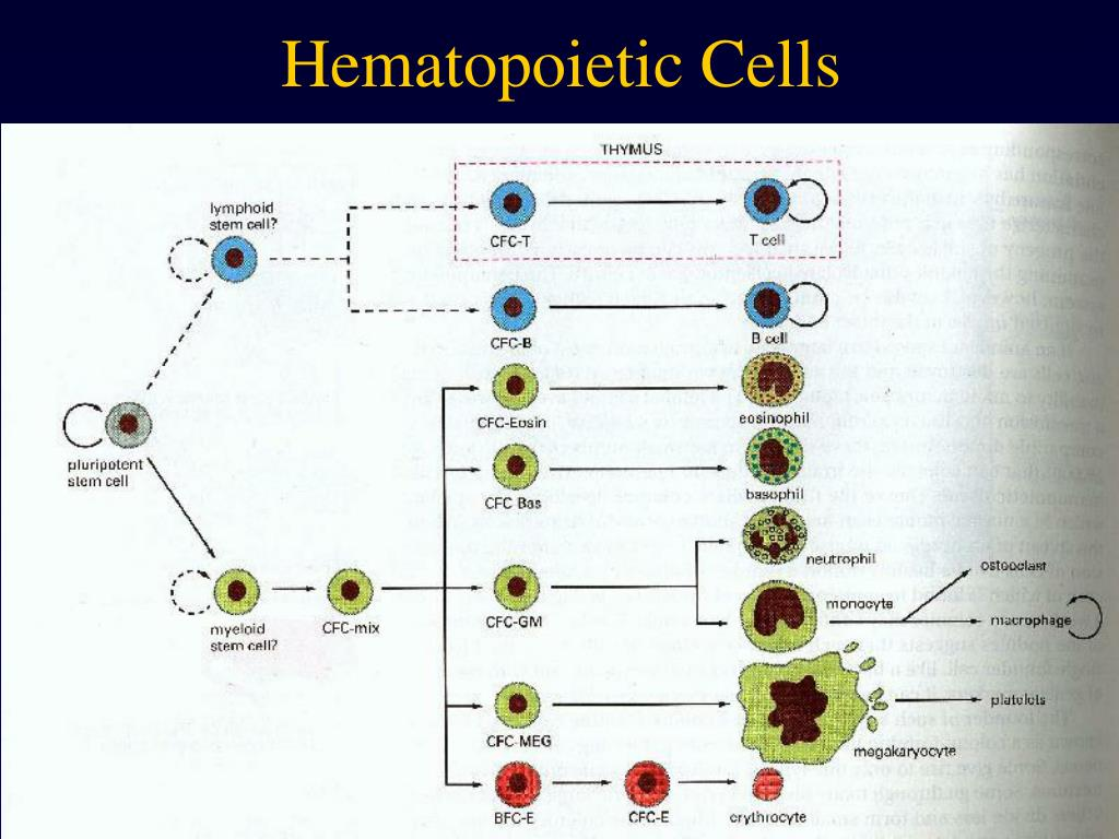 Hematopoietic Cells