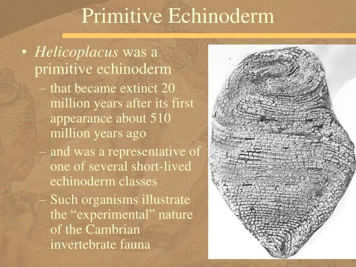 Primitive Echinoderm