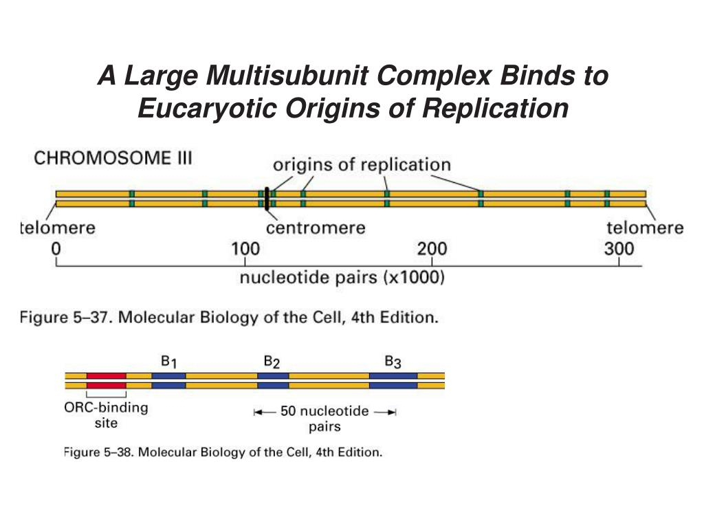 A Large Multisubunit Complex Binds to Eucaryotic Origins of Replication