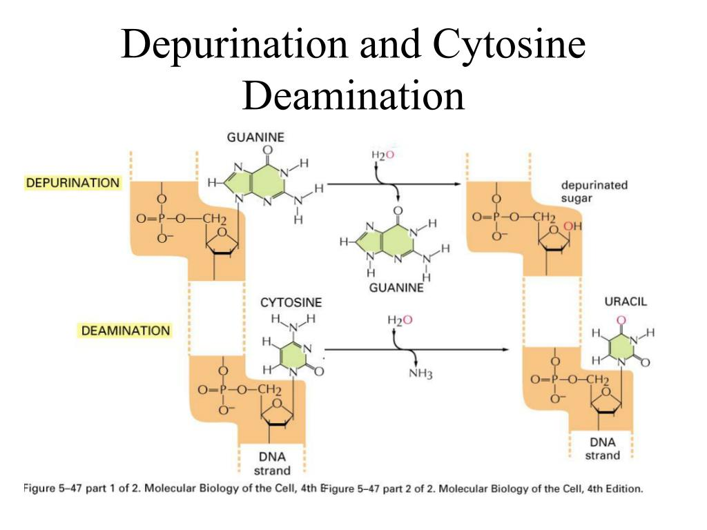 Depurination and Cytosine Deamination