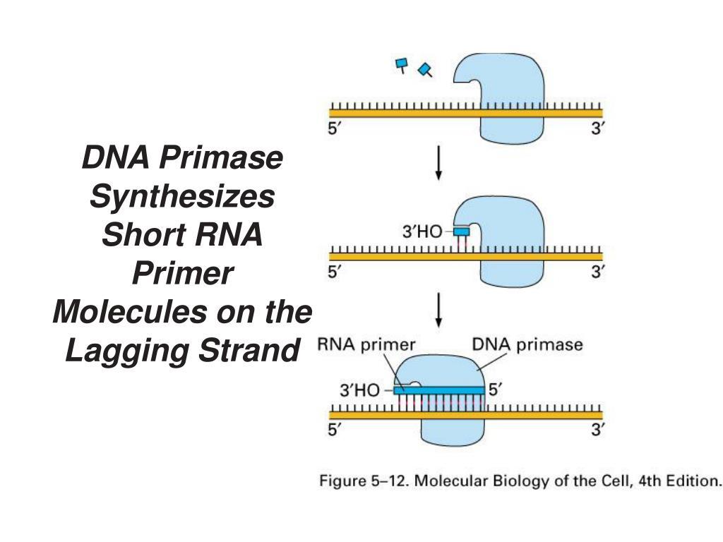 DNA Primase Synthesizes Short RNA Primer Molecules on the Lagging Strand