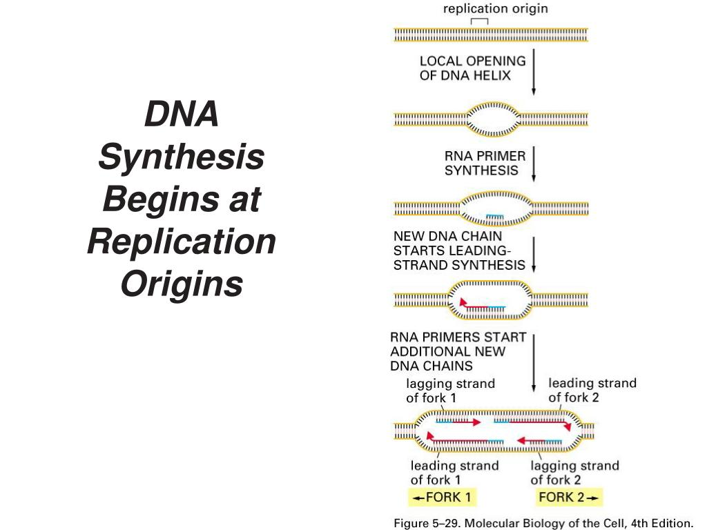 DNA Synthesis Begins at Replication Origins