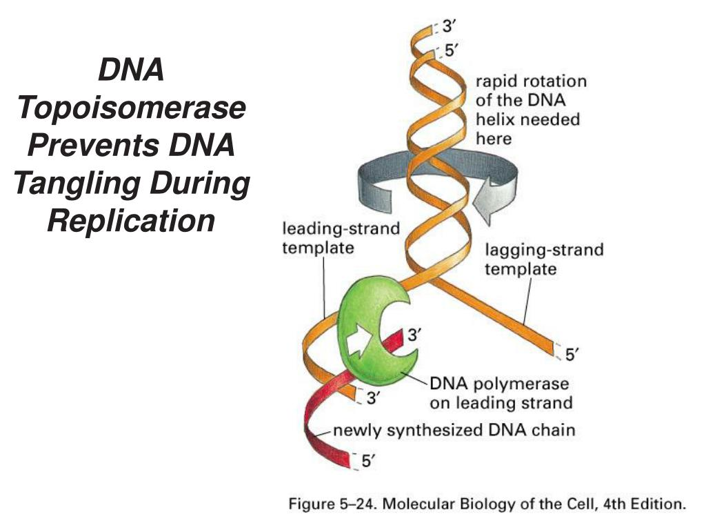 DNA Topoisomerase Prevents DNA Tangling During Replication