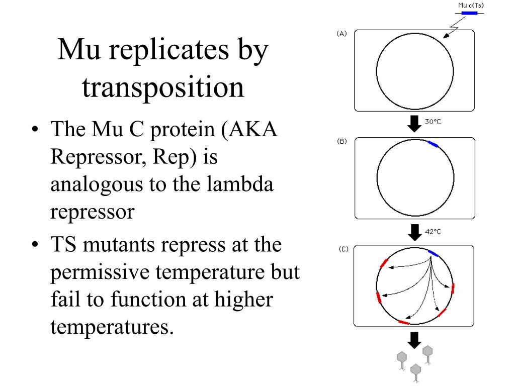 Mu replicates by transposition