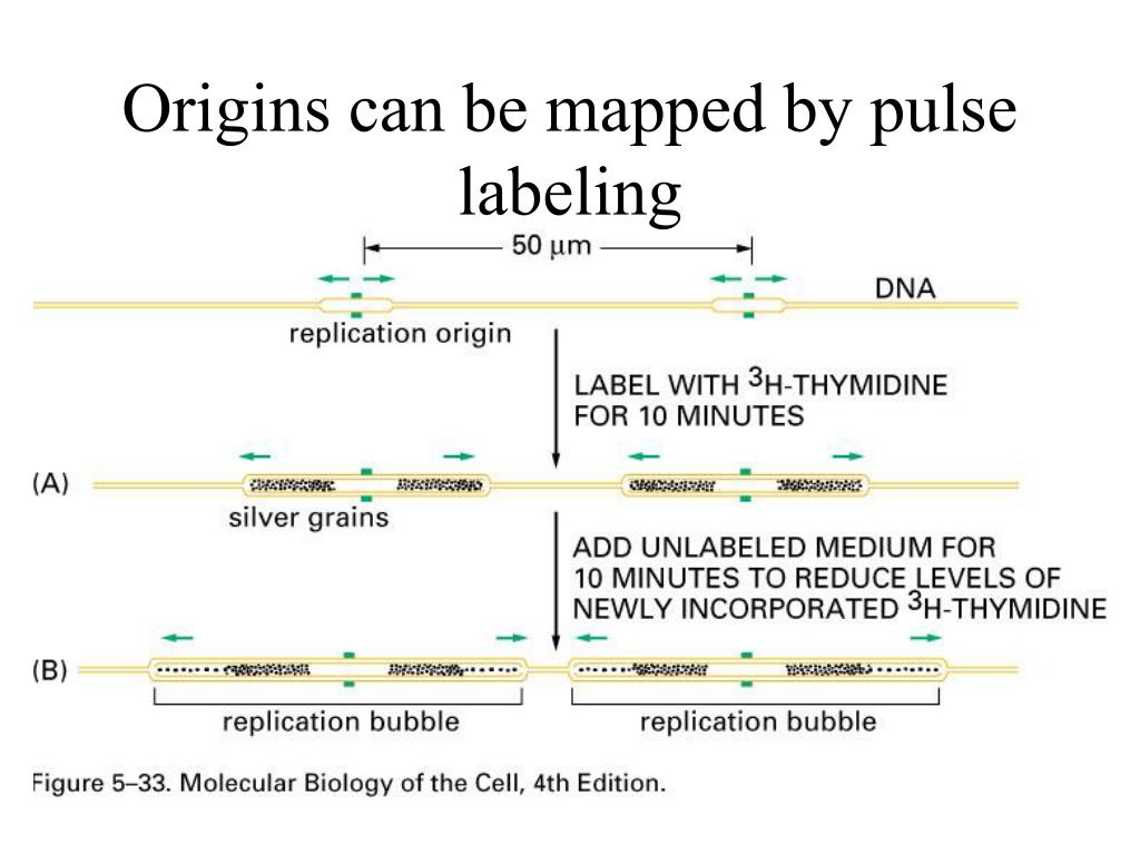 Origins can be mapped by pulse labeling