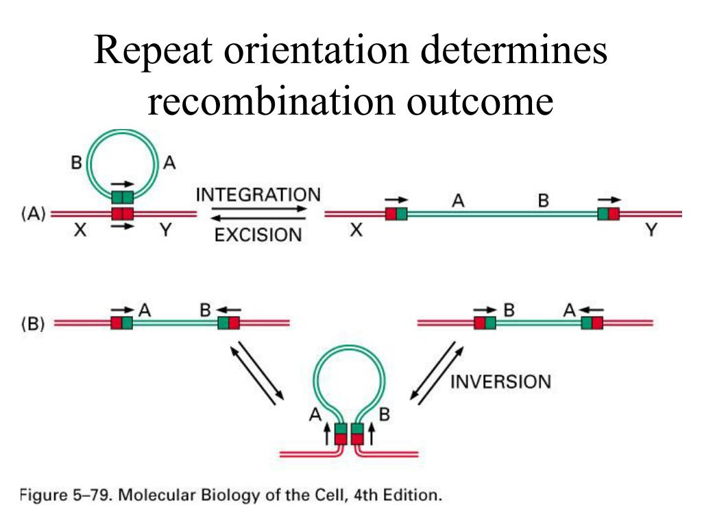 Repeat orientation determines recombination outcome