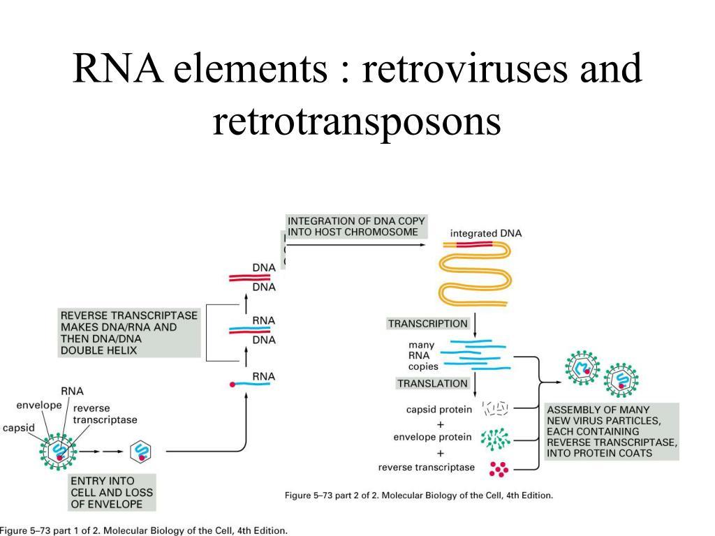 RNA elements : retroviruses and retrotransposons