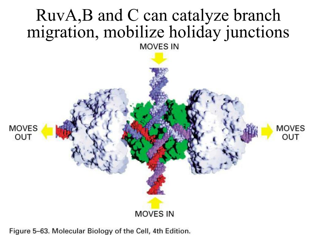 RuvA,B and C can catalyze branch migration, mobilize holiday junctions