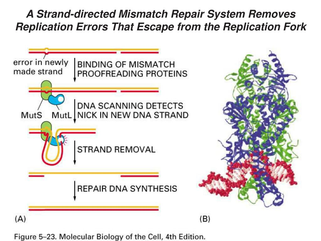 A Strand-directed Mismatch Repair System Removes Replication Errors That Escape from the Replication Fork