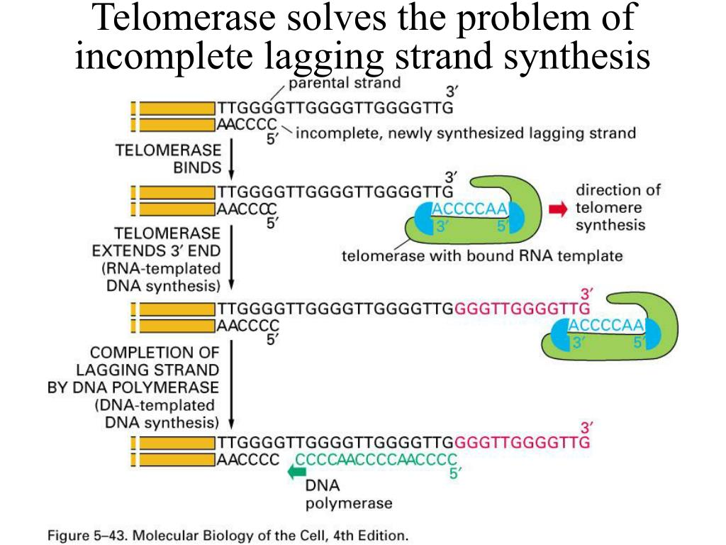 Telomerase solves the problem of incomplete lagging strand synthesis