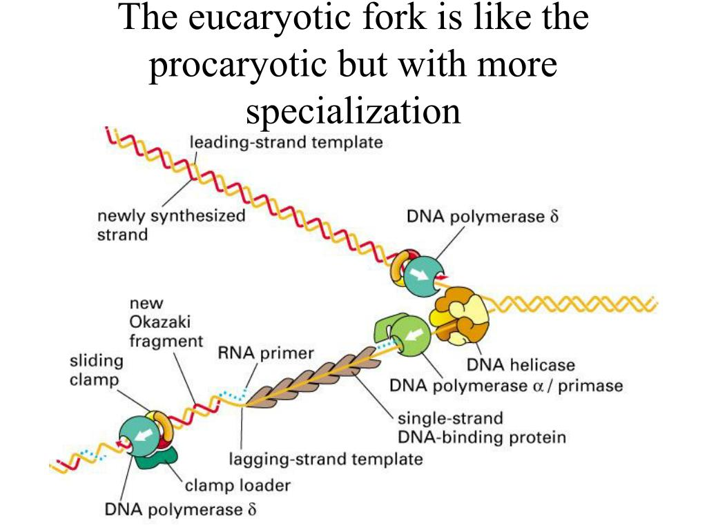 The eucaryotic fork is like the procaryotic but with more specialization