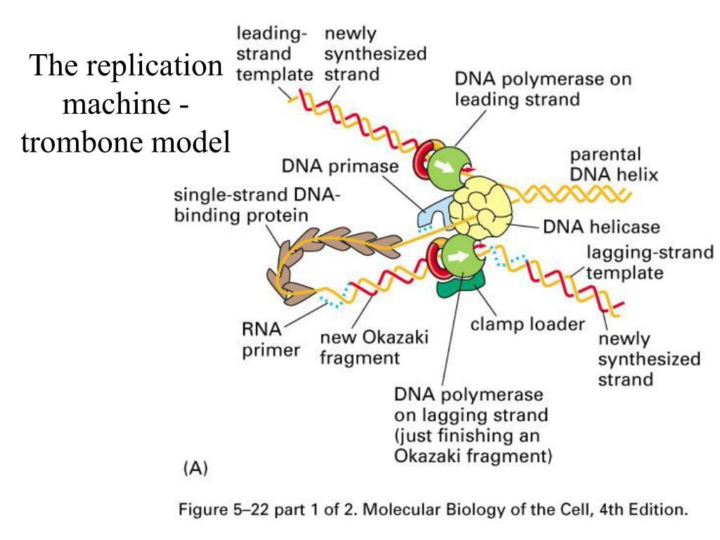 The replication machine - trombone model