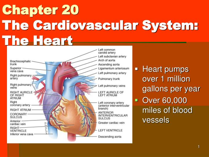 Ppt Chapter 20 The Cardiovascular System The Heart Powerpoint