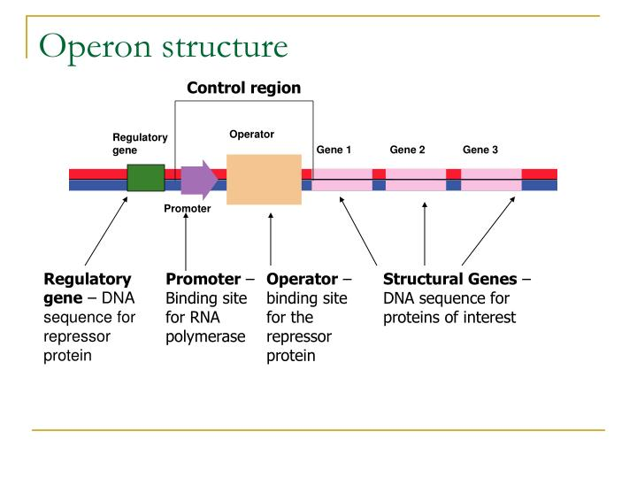 amino acids rna diagram rna operon diagram ppt - comparison of genetic material and replication for ...