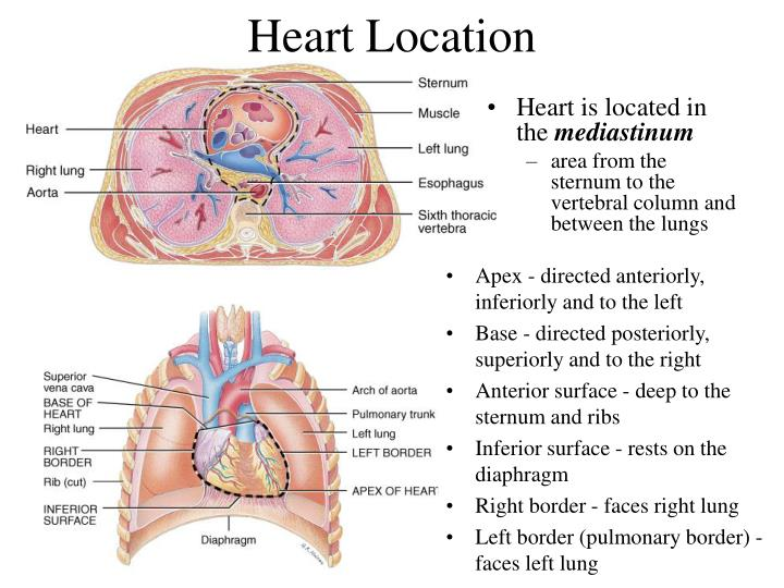PPT - The Cardiovascular System: The Heart PowerPoint Presentation ...