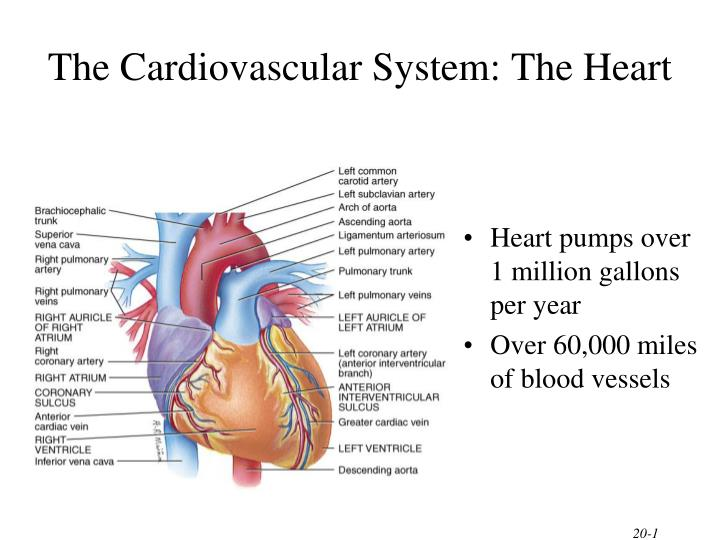 Ppt The Cardiovascular System The Heart Powerpoint Presentation