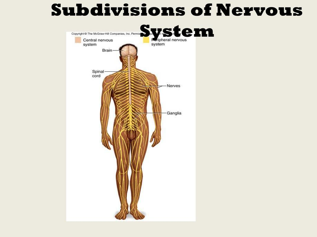 subdivisions of nervous system l.