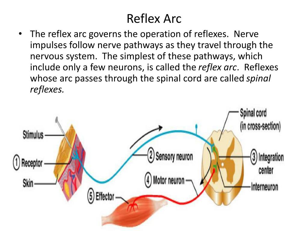 The reflex arc essay college paper academic service the reflex arc essay ccuart Image collections