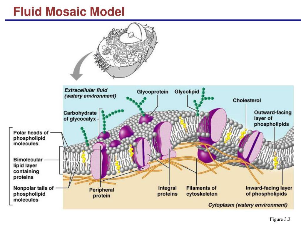example of fluid mosaic model