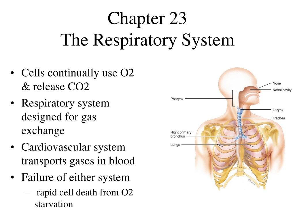 PPT - Chapter 23 The Respiratory System PowerPoint Presentation - ID ...