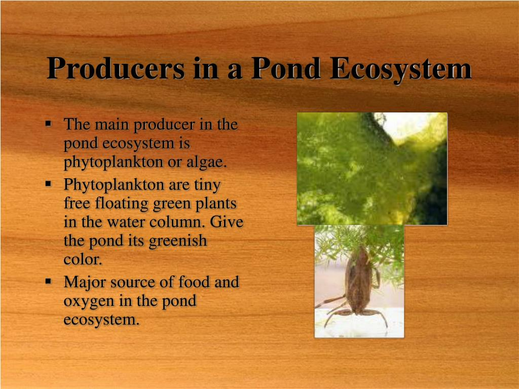 Producers in a Pond Ecosystem