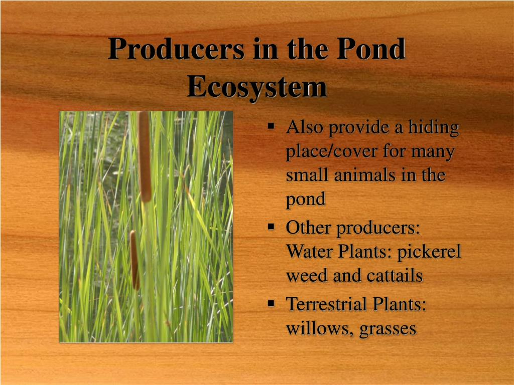 Producers in the Pond Ecosystem